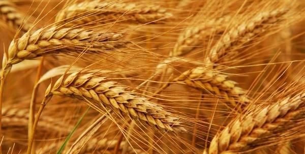 Зерновое меню кроликов: изучаем все аспекты кормления