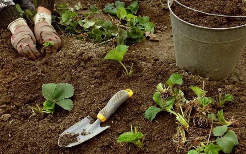 Пересадка клубники. способы повысить урожайность клубники