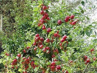 Яблоня колоновидная, сорта для подмосковья