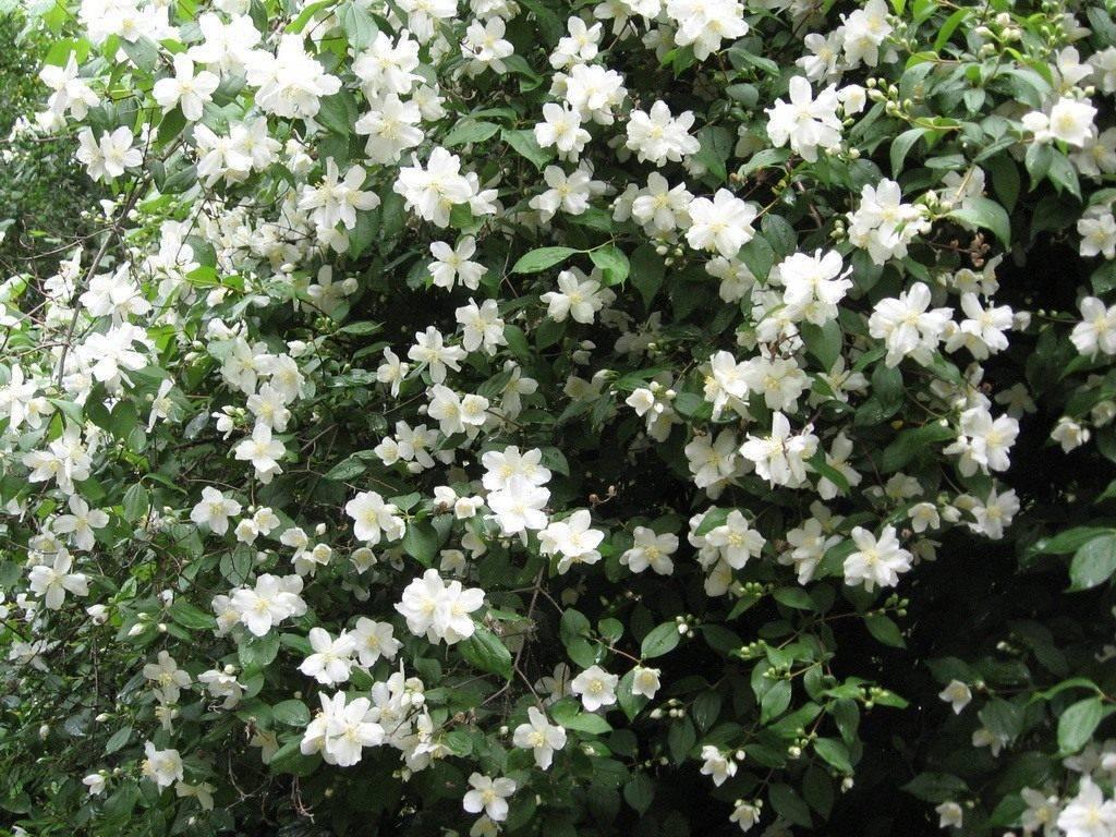 Лечебные свойства и применение цветов жасмина