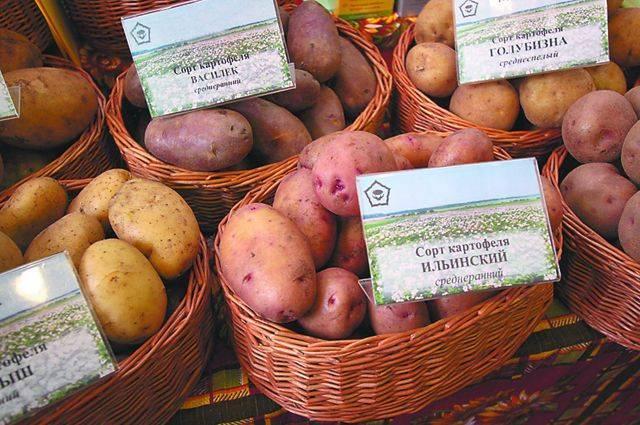 Сорт картофеля киевский свитанок. картофель «свитанок киевский»: один из лучших для климатических условий россии