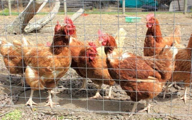 Об офлосане для кур, бройлеров, цыплят: инструкция по применению препарата