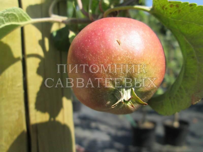 Сорт яблони брянское золотистое – описание, фото