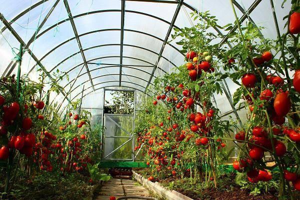 Как правильно садить помидоры в теплицах из поликарбоната?