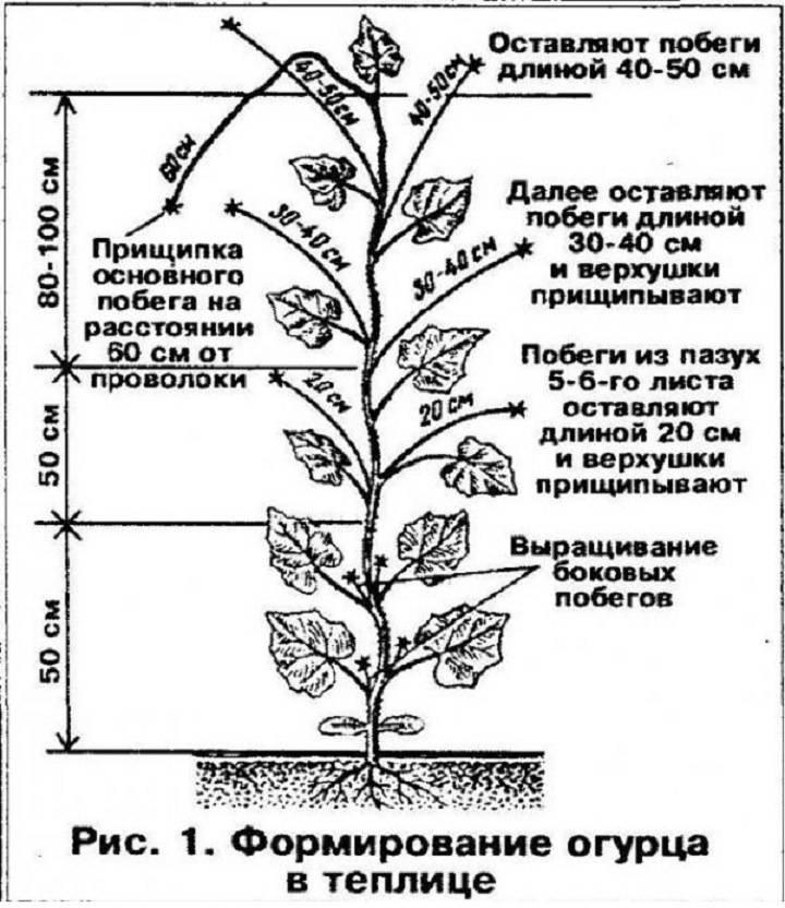Когда и как обрывать листья у огурцов в теплице: 10 рекомендаций