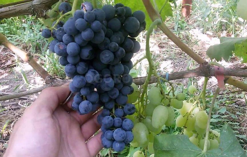Неукрывной виноград: особенности. перечень неукрывных и укрывных сортов