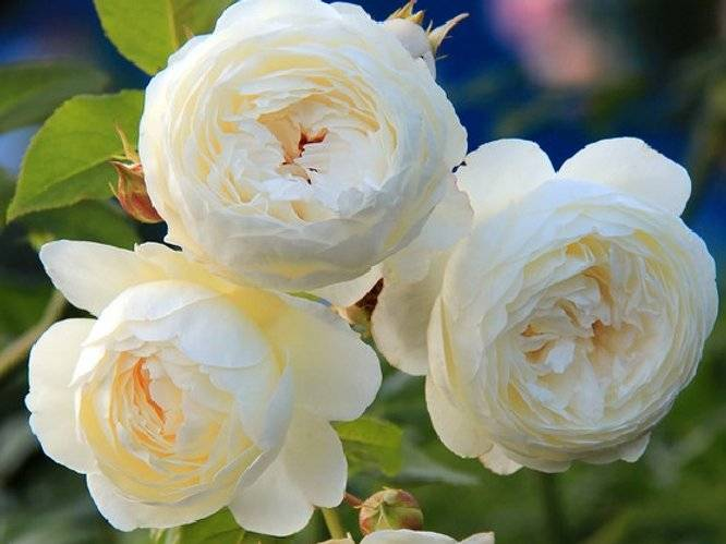 Роза claire austin клэр остин