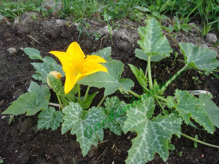 Выращивание кабачков в открытом грунте: сроки, посадка, уход, сбор урожая