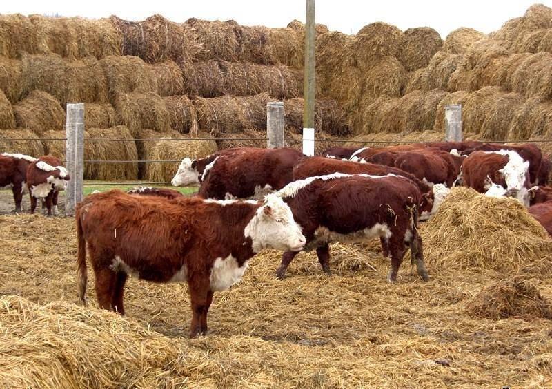 Откорм бычков в домашних условиях - нюансы эффективного получения прибыли