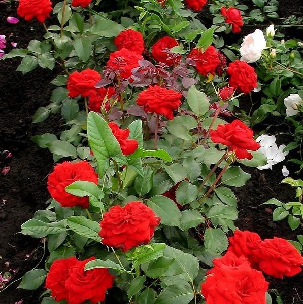 О розе бургунд: характеристики сорта чайно гибридной розы burgundy ice
