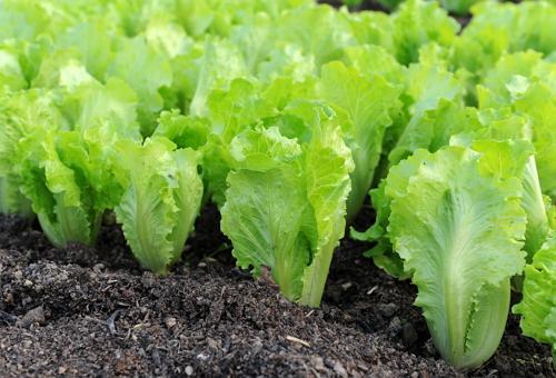 Выращиваем салат айсберг на подоконнике круглый год - общая информация - 2020