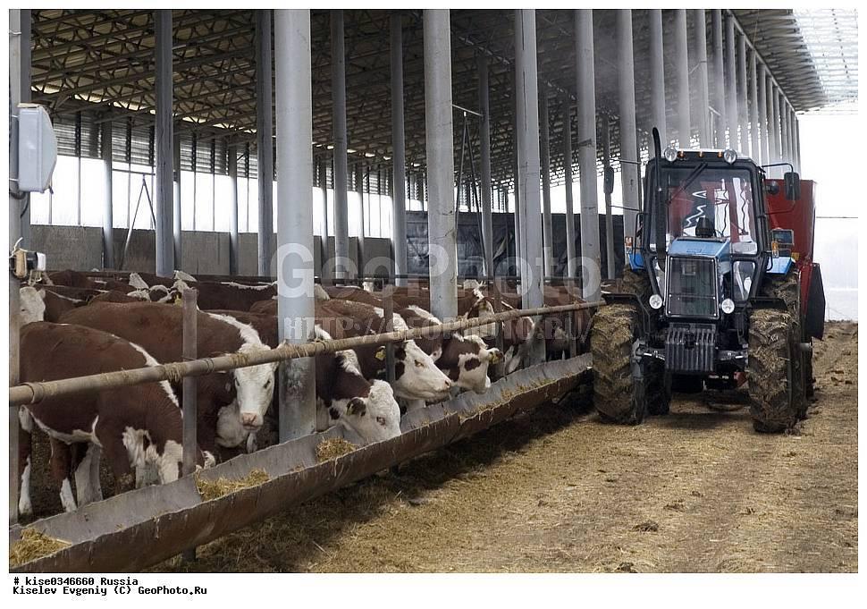 Разведение мясных коров: особенности и перспективы