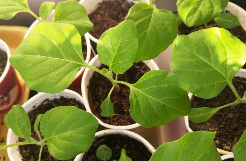 Баклажаны - посев семян на рассаду, как не допустить ошибок при посадке?