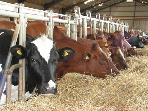 Мясо коровы: состав, свойства, характеристики и особенности. советы по выращиванию крупного рогатого скота и производству говядины (120 фото)