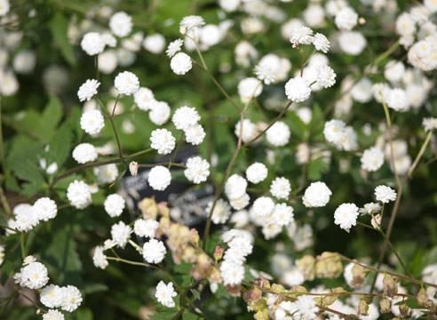 Травянистый полукустарник гипсофила многолетняя: посадка и уход, фото и нюансы выращивания «цветущего облака» на участке