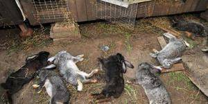 Цистицеркоз у кроликов: как проявляется, чем лечить, можно ли есть мясо - общая информация - 2020