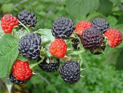 О малине Кумберленд черной и желтой: описание сорта, особенности по уходу