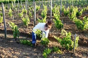 Как ухаживать за виноградом весной чтобы был хороший урожай: советы бывалых