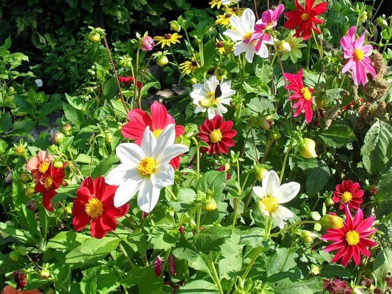 Выращивание однолетних георгинов: уход и фото