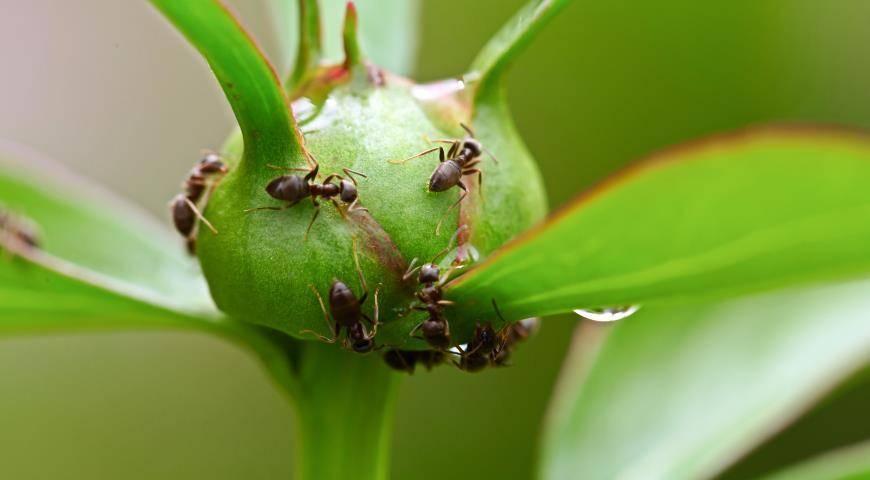 Муравьи на пионах: какой вред наносят и способы избавиться от них