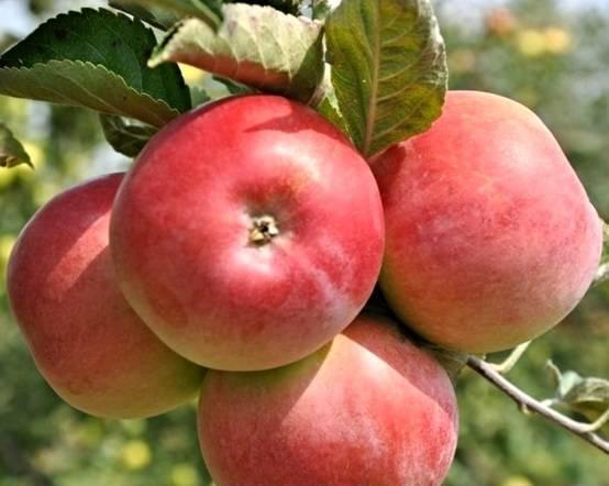 Абсолютно устойчивая к парше яблоня вэм-розовый