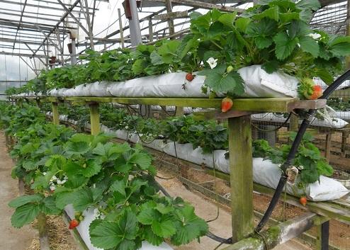 Как вырастить клубнику в квартире зимой – 5 шагов до урожая