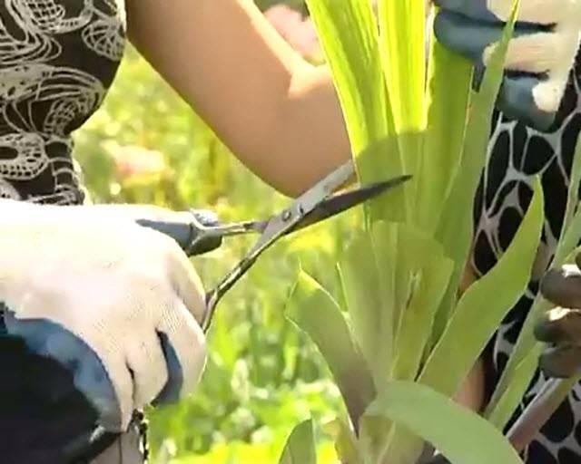 Уход за ирисами после цветения: основные правила обрезки, подготовки к зиме и пересадки, какой уход