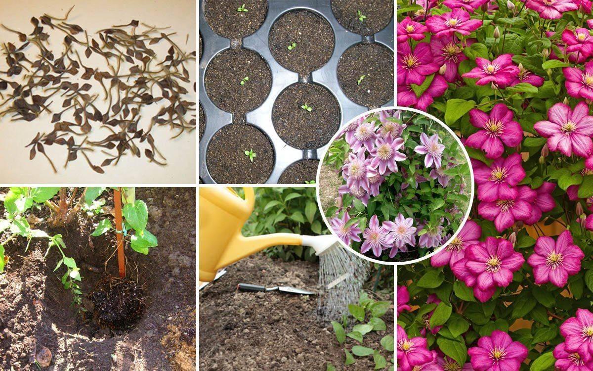 Когда и как правильно посадить саженец гортензии весной в отрытый грунт
