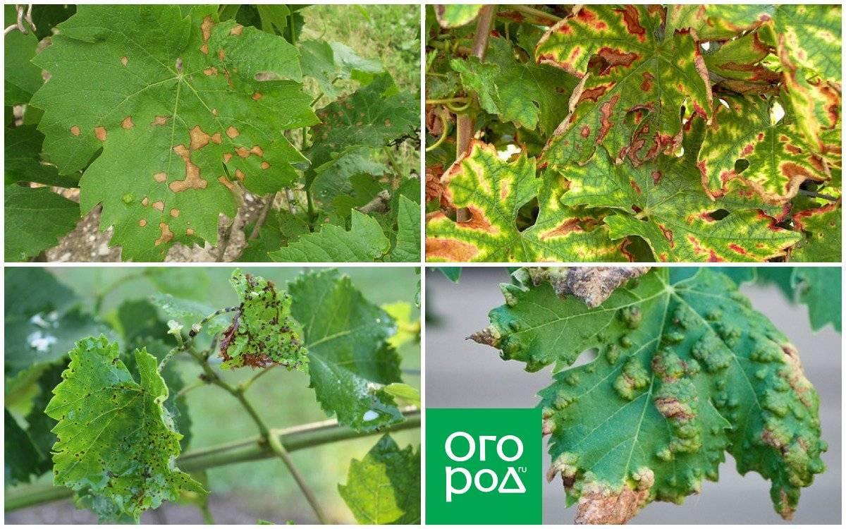 Что делать если листья винограда покрылись коричневыми пятнами, покраснели