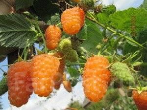 Малина оранжевое чудо: описание сорта, посадка и уход