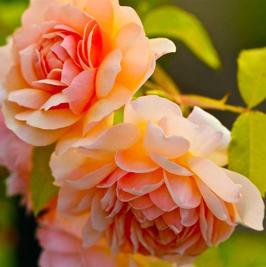 Роза флорибунда кимоно: описание сорта и особенности выращивания красивых цветов