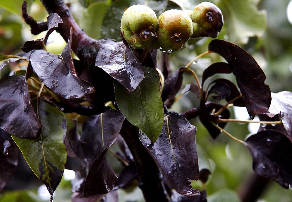 Почему чернеют листья груши – основные причины и способы лечения