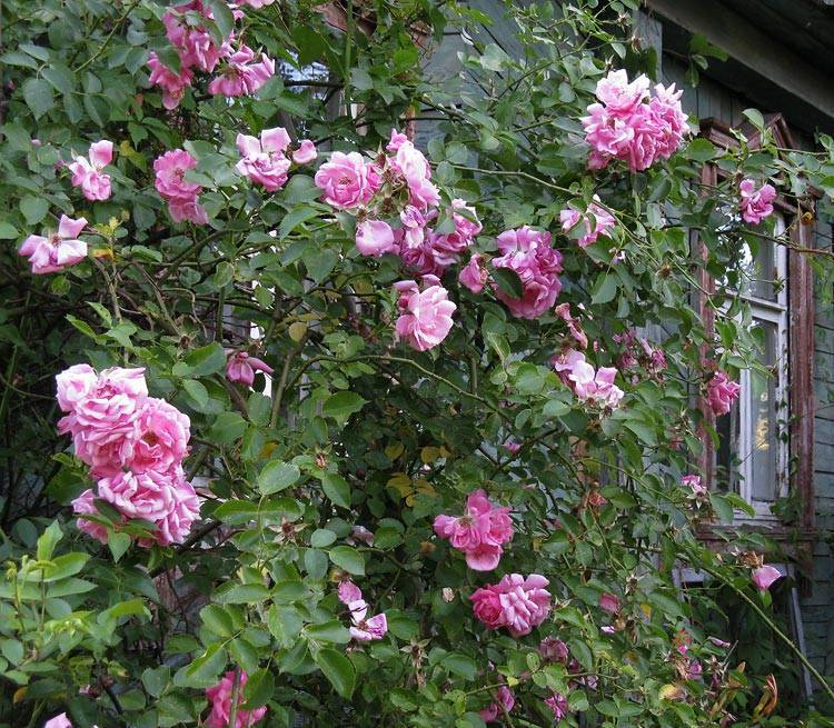 Роза индиголетта плетистая посадка и уход