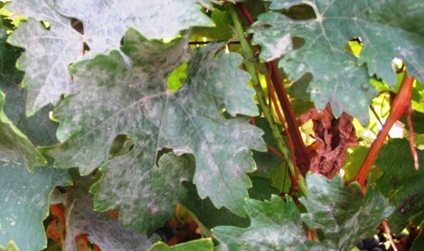 Оидиум винограда: лечение и профилактика, меры борьбы