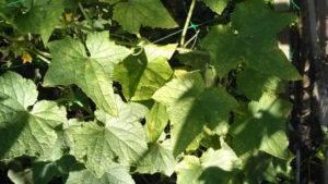 Почему сохнут ягоды и кисти винограда и как лечить