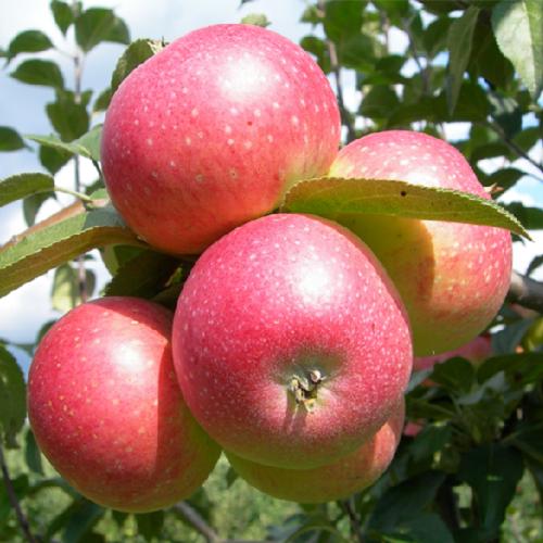 Сорт яблони дарунок: ботаническое описание и характеристика, агротехника выращивания