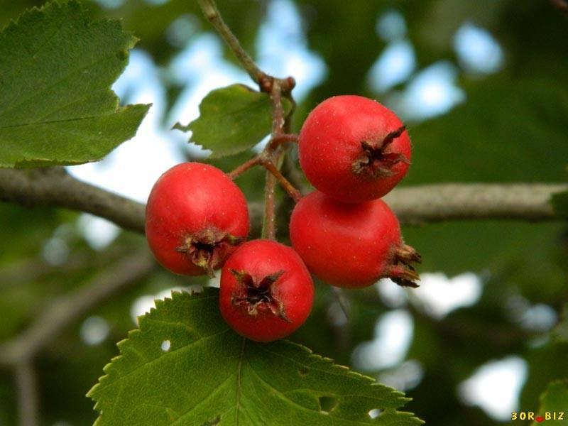 Боярышник кроваво-красный: полезные свойства и применение