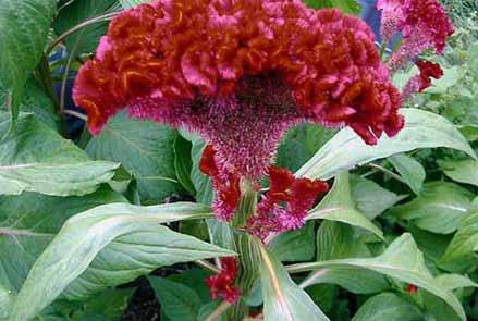 Растение амарант – что это за культура, особенности основных видов, рекомендации по выращиванию