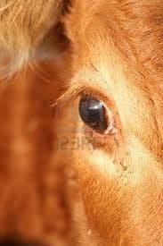 У коровы болит глаз что делать