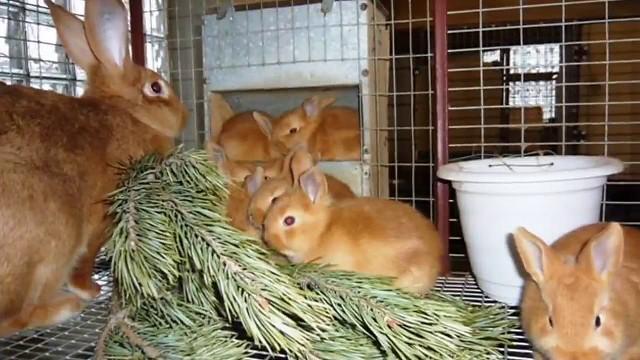 Можно ли давать кроликам ветки малины