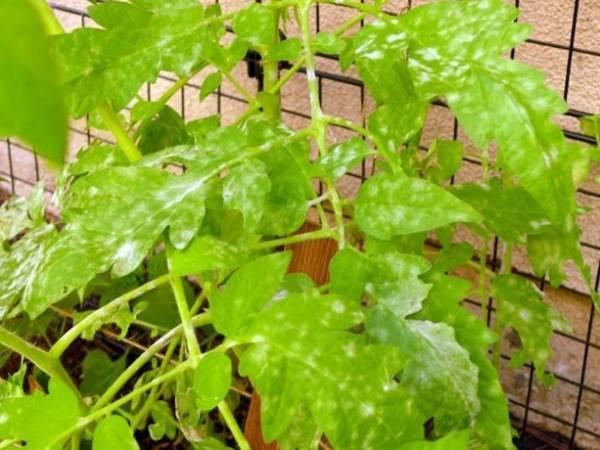 Почему листья у томатов стали бледные?