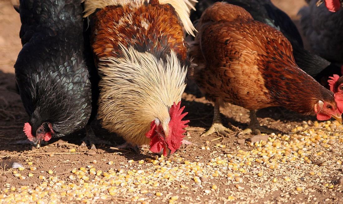Выращивание кур в домашних условиях для начинающих