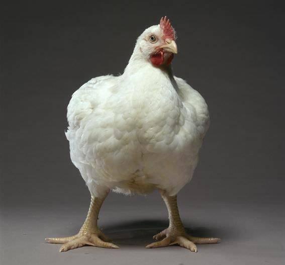 Бройлеры - выращивание в домашних условиях, кормление от цыпленка до забоя