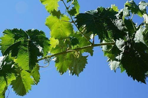 Чем подкормить виноград весной: правила внесения удобрений