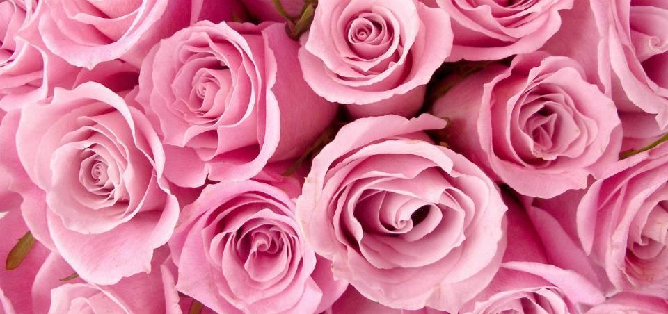 Почвопокровная роза «фейри»: описание видов «ред» и «данс», «уайт» и «айлес», «йеллоу» и «ловли», «пинк» и других. советы по посадке и уходу