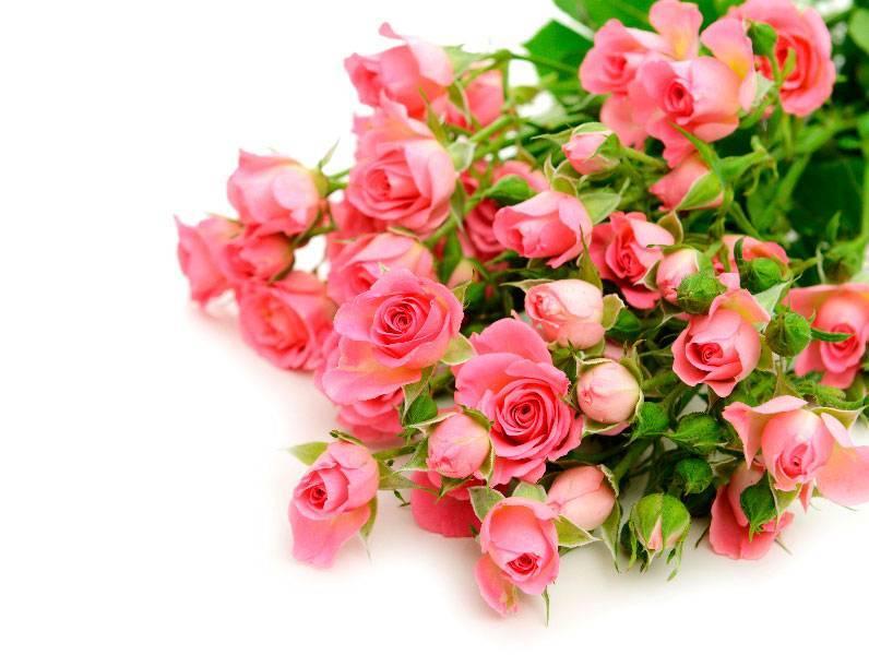 Как вырастить комнатную розу в домашних условиях