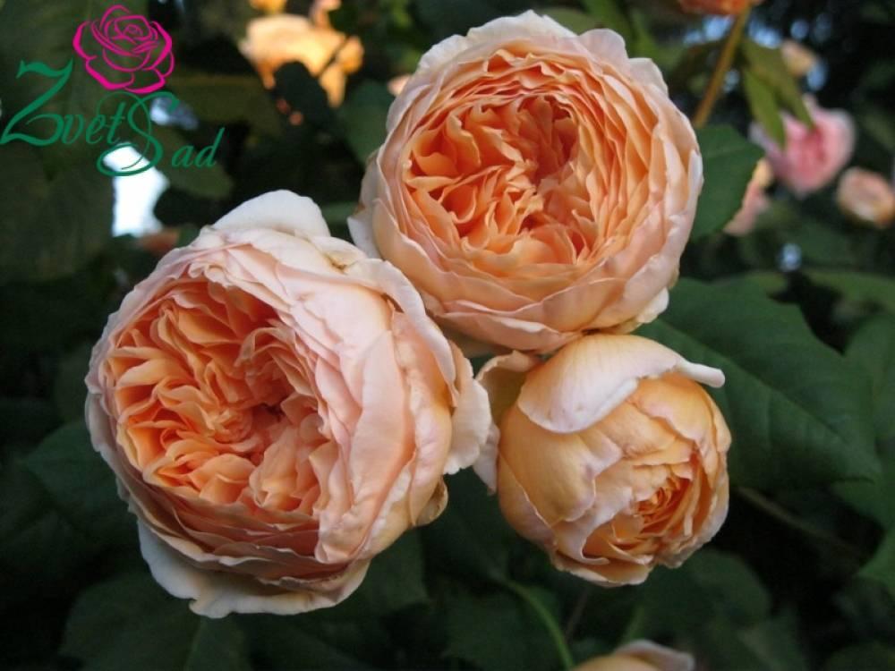 Crown-princess-margareta - запись пользователя ирина (ira_novi) в сообществе сад, огород в категории хвалюсь, мой участок. - babyblog.ru