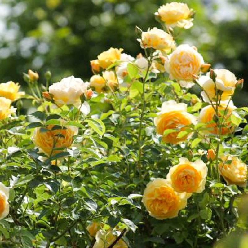 Парковые розы: описание с названиями 17 лучших сортов включая зимостойкие | (100+ фото & видео) +отзывы