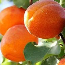 Почему не плодоносит абрикос в саду