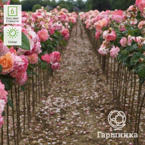 Роза августа луиза энциклопедия